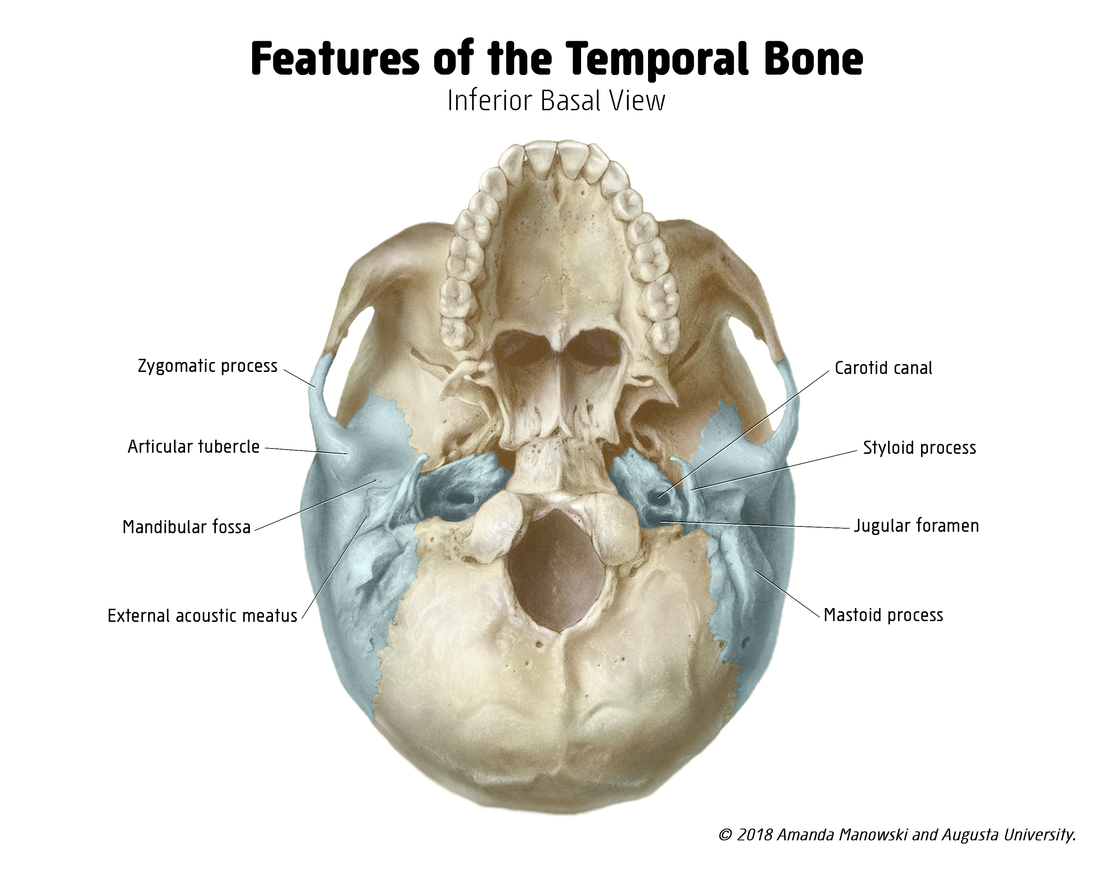 Features of the Temporal Bone
