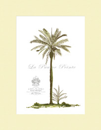 Classical Palm - Betel Palm