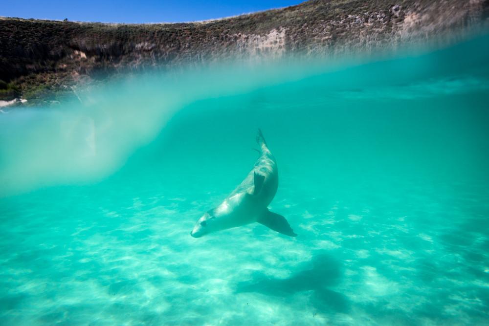 Australian Sea Lion, Hopkins Island