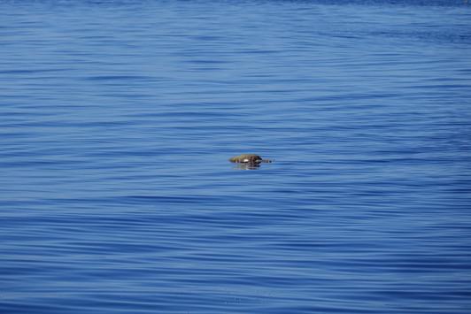 Sea turtle sunbathing