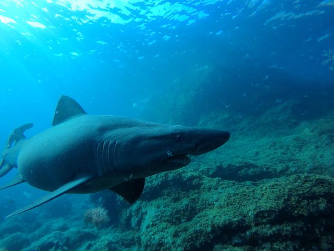 Smalltooth sand tiger shark