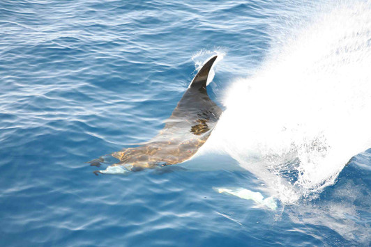 Devil Ray spotted in an oceanographic cruise