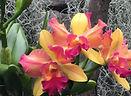 Duke Orchid.JPG