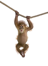 monkey-hd-png-monkey-free-download-png-p