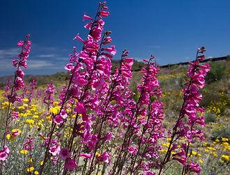 AZ wildflower_1npearson.jpg
