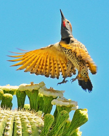 Gilded flicker migrates to Sonoran Desert to breed
