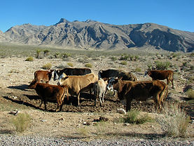 Cattle grazing damage in the Sonoran Desert