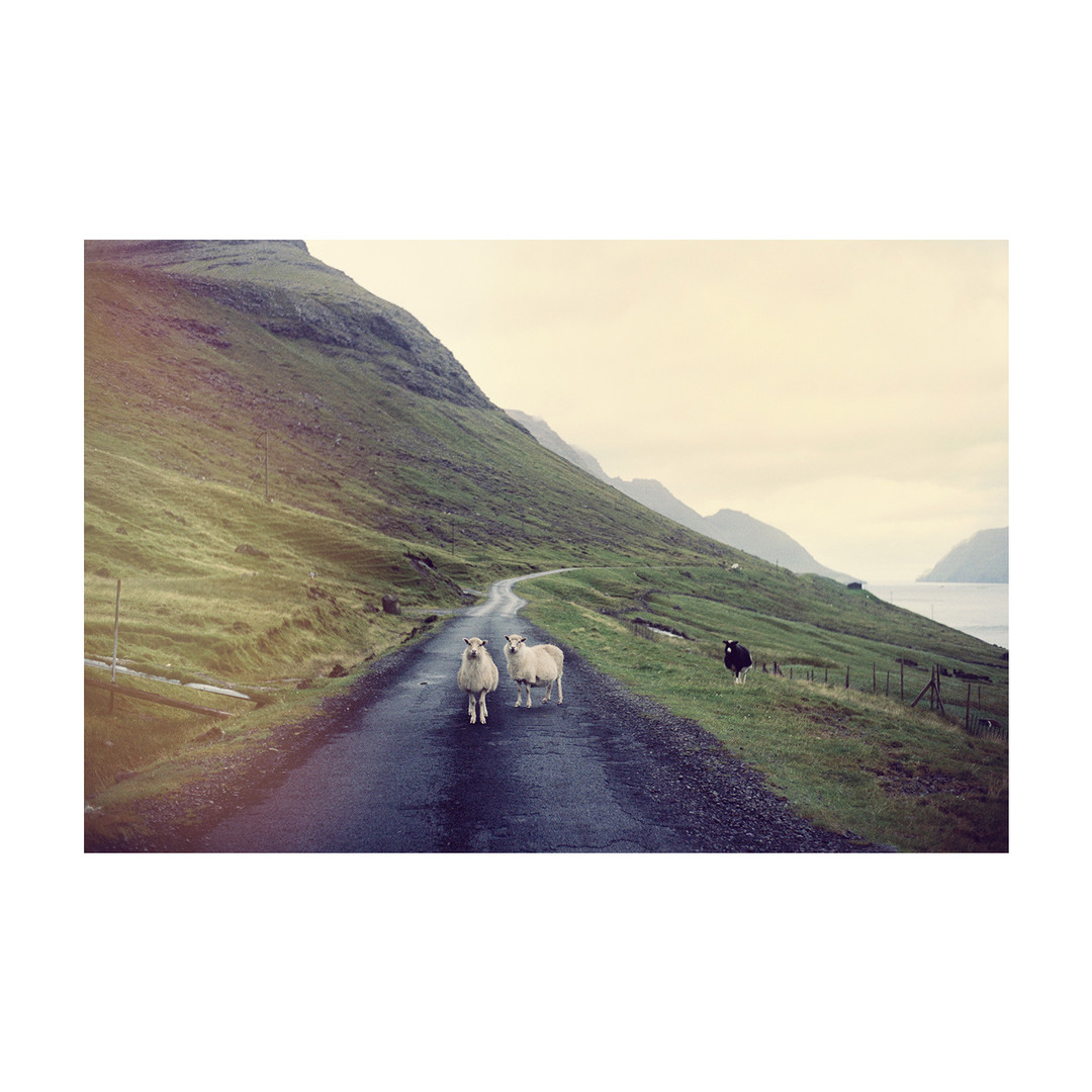 Sheep01_Colors_FaroeIslands_0819_KevinMe