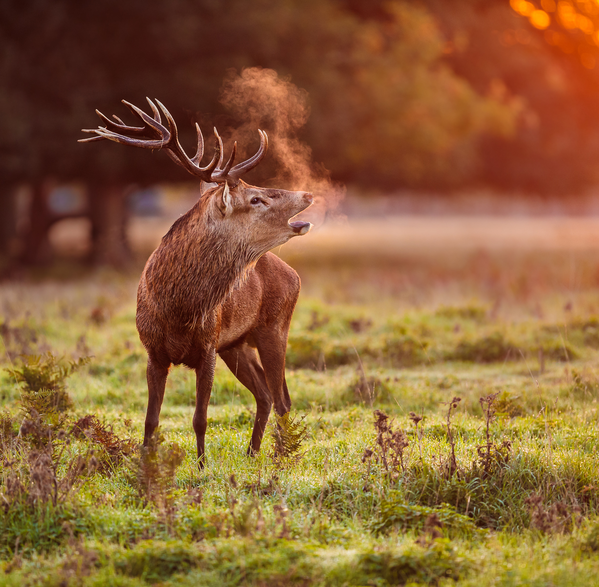 Sunrise Stag Breathing