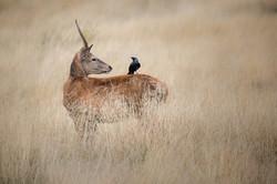 Red Deer Juvenile Stag