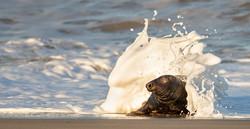 Seal Splash