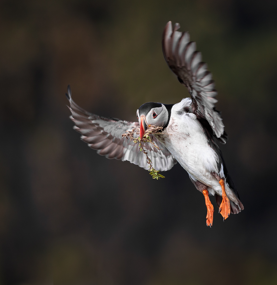 Puffin with Nesting Materials