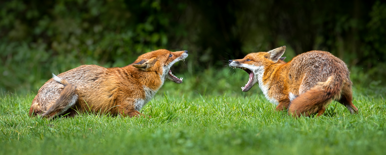Furious Foxes