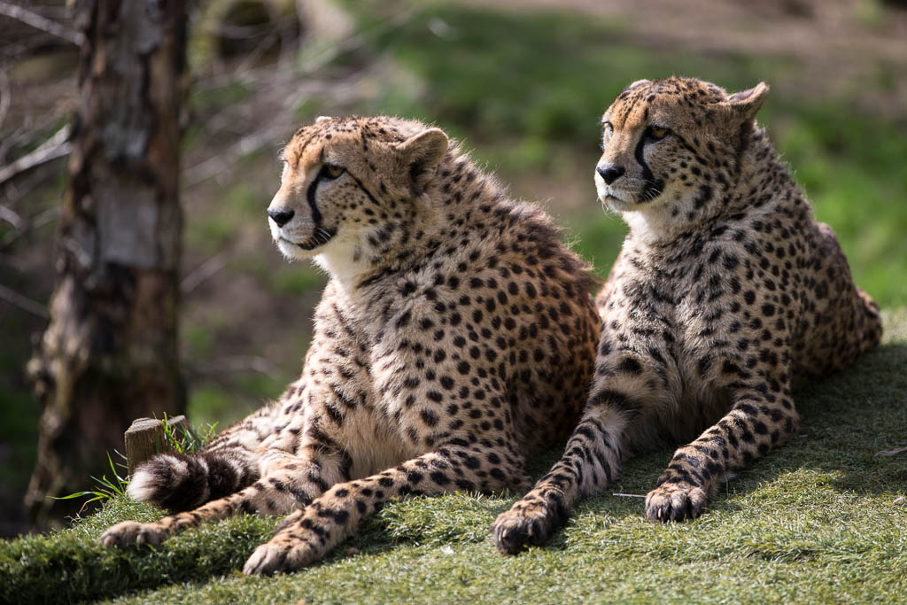 Cheetahs at rest