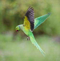 Rose Necked Parakeet