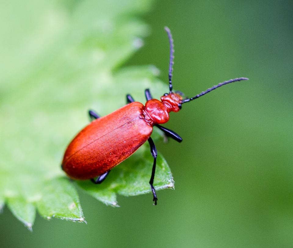Red Soldier Beetle (Rhagonycha fulva