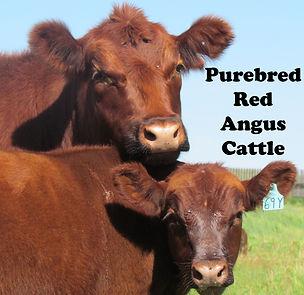 Ockerman Angus purebred heifer calves for sale