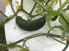 A cucumber growing on April Ockermans tower garden