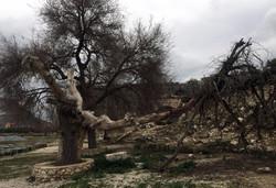 Old tree in Letoon