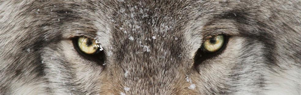 wolves (1).jpg