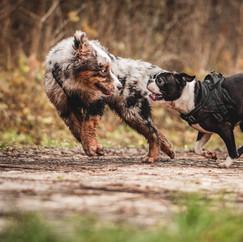 Berger Australien & Boston Terrier