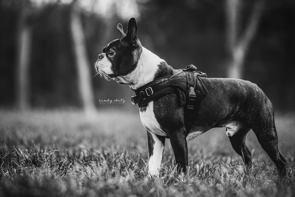 Olive - Boston Terrier