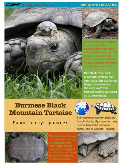 Burmese Black Mountain