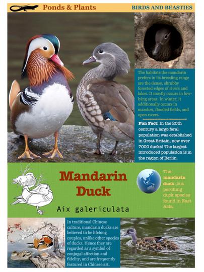 Chinese Mandarin Ducks