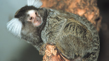 Marmalade the Marmoset