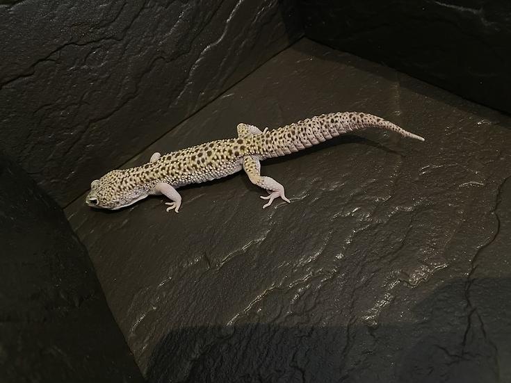 ヒョウモントカゲモドキ/スノーエクリプスエニグマ