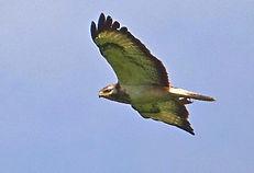 Buizerd. Vogelwerkgroep Noordwestachterhoek.