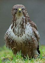 Buizerd. Vogelwerkgroep Noordwest-achterhoek