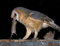 Kerkuil Vogelwerkgroep Noordwest-Achterhoek