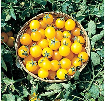 Gold Nugget Cherry Tomato