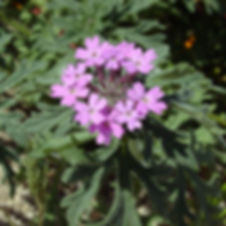 Glandularia_bip_400.jpg