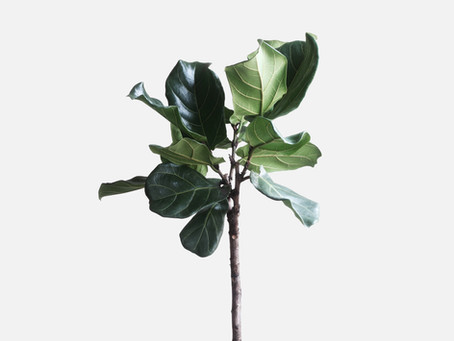 The Fiddle Leaf Fig. It's a love hate story.