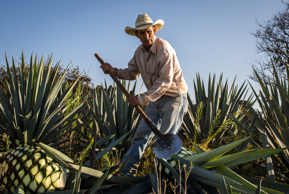 Jimadores, like this one at El Pandillo in Jesús María, Jalisco, can uproot an agave and shear off its thorny leaves (known as pencas) and, in under two minutes, leave only the sugar-rich heart (or piña).