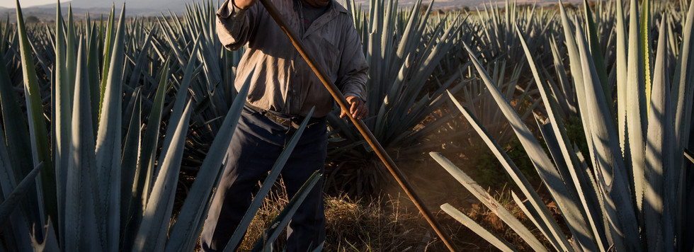 A fieldworker for Don Abraham clears weeds from rows of four-year-old agaves. Keeping the ground clear promotes airflow and reduces the chances of fungal infections that often plague agaves.