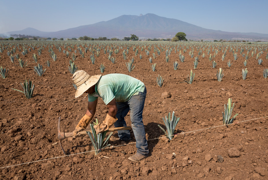 In the shadow of the Tequila Volcano, a worker for Don Abraham plants hijuelos in a freshly tilled field outside Amatitán, Jalisco.