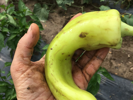 Banana Pepper Bliss!