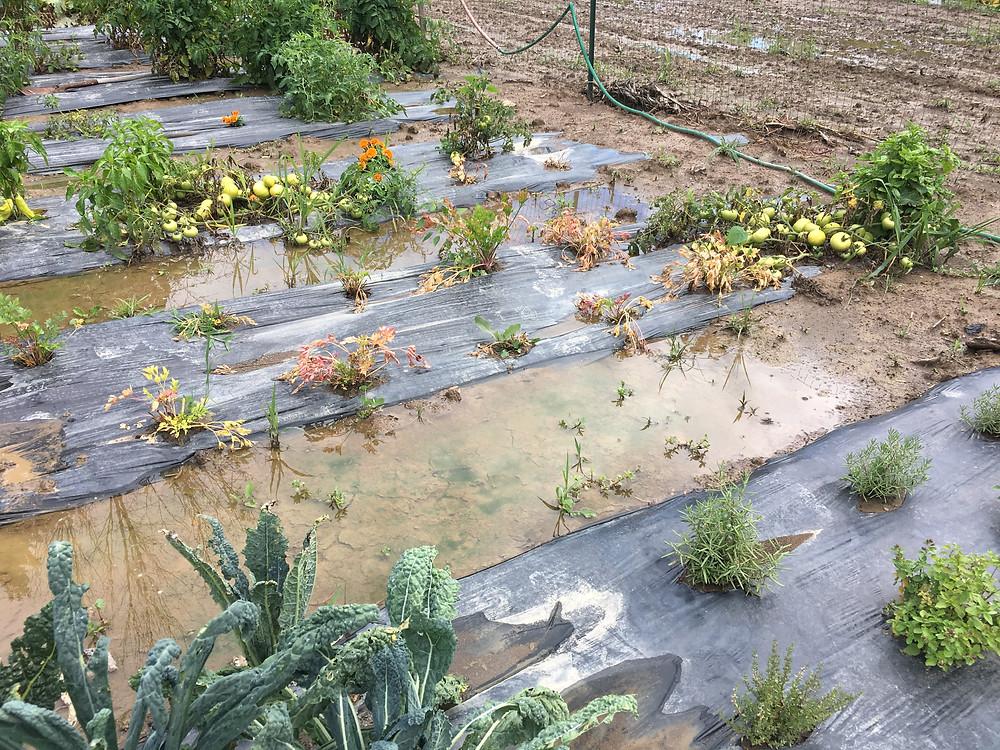 Italian Parsley in soupy soil!