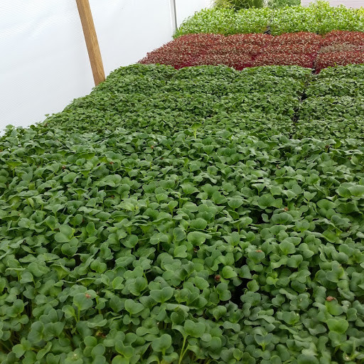 Locally Rooted MicroGreens