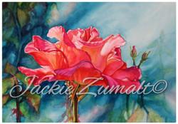 jackie zumalts classic rose