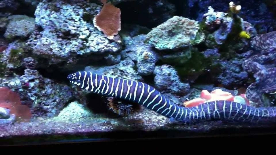 Zebra Moray Eel Medium to Large