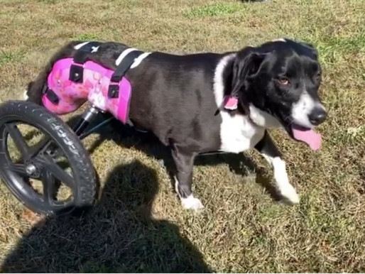 For the Love       The Ins and Outs of Loving a Disabled Dog Companion