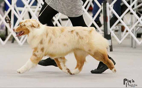 Show bred, health tested, raw fed, Pure bred Australian Shepherds in Ontario