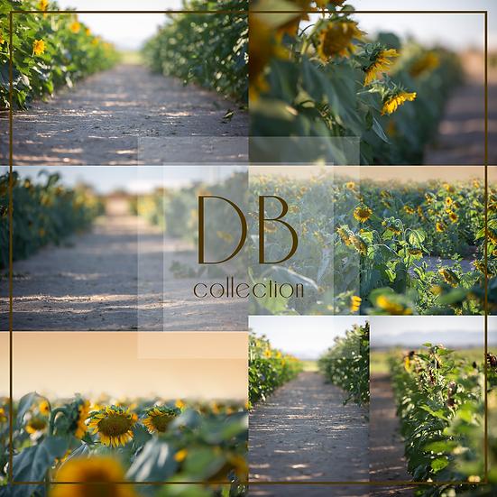 Sunflower Field Digital Background Collection