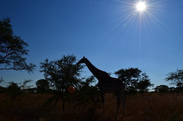 giraffe-185564_960_720.jpg