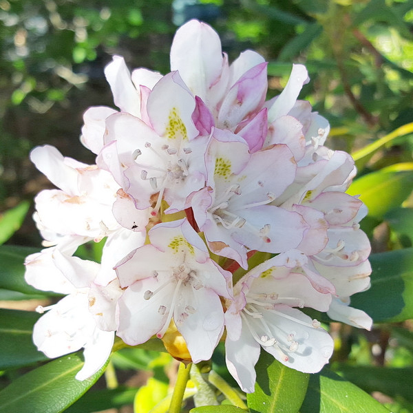 The Rosebay Rhododendron - Rhododendron maximum