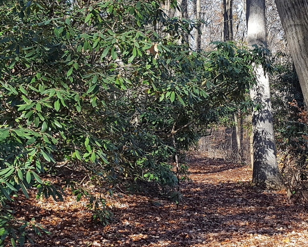 A stand of Rhododendron maximum arching over a trail